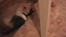 Замес котят на ринге