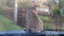 Смотреть Как кот ездит на дачу