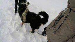 Смотреть Прогулка зимой с хорьками и собакой
