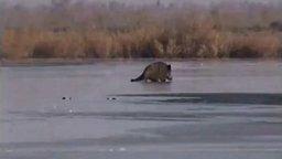 Кабан на льду смотреть видео прикол - 2:02