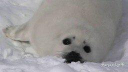 Трогательный морской котик смотреть видео прикол - 2:33