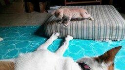 Смотреть Задиристый котёнок против доброго пса