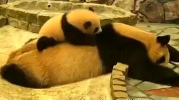 Уставшая панда и её малыш смотреть видео прикол - 0:45