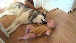 Смотреть Хаски и малыш