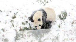 Смотреть Панда радуется снегу