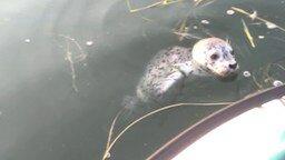 Смотреть Дружелюбный тюлень приплыл к лодке