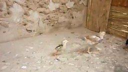 Драчливый цыплёнок смотреть видео прикол - 1:46