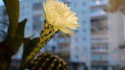 Смотреть Цветение кактуса
