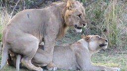 Как львы спариваются смотреть видео прикол - 2:28