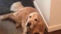 Смотреть Пёс даёт понять, что не хочет на улицу