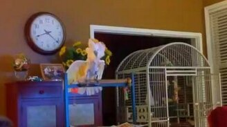 Смотреть Попугай пародирует ссору