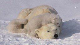 Смотреть Белая медведица с медвежатами