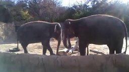 Смотреть Слон ломает палку