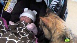 Смотреть Животные знакомятся с новорожденными