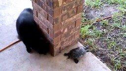 Смотреть Кошка и черепаха играют в догонялки