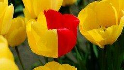 Смотреть Плантации тюльпанов
