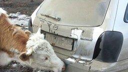 Смотреть Коровы облизывают авто
