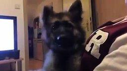 Овчарёнок реагирует на слова смотреть видео прикол - 0:04