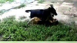 Смотреть Вечная борьба собак и кошек