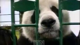 Смотреть Панда с хваткой медведя