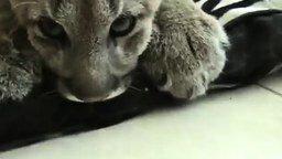 Камышовый кот как он есть смотреть видео прикол - 0:19