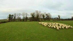 Смотреть Оперативный пастух для овец