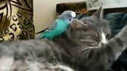 Попугай и кот-лентяй смотреть видео прикол - 2:53