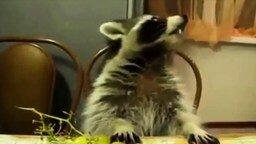 Смешные еноты смотреть видео прикол - 3:48