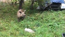 Смотреть Дикий кабан - друг из леса