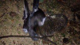 Смотреть Ёж поймал голубя