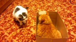 Битва котов за коробку смотреть видео прикол - 0:58