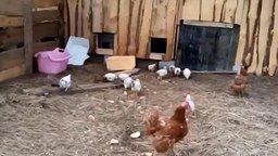 Смотреть Как быстро загнать цыплят в сарай