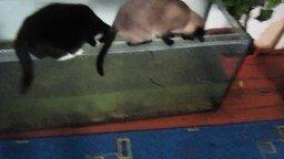 Смотреть Кот плюхнулся в аквариум