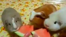 Смотреть Свинки кушают арбуз