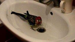 Смотреть Купание попугая от и до