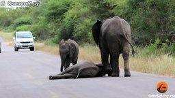 Смотреть Слонёнок кривляется на дороге