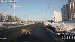 Смотреть Учитесь переходить дорогу у собак