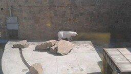 Белый мишка пританцовывает смотреть видео прикол - 1:16