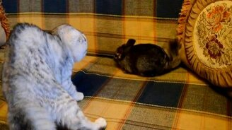 Смотреть Кошка против шиншиллы