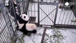 Первое заточение панд смотреть видео прикол - 1:06