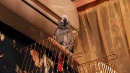 Смотреть Попугай разговаривает, как кошка