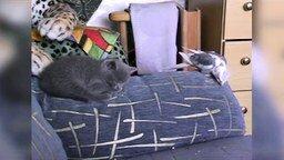 Смотреть Попугай ворует печеньку у котёнка