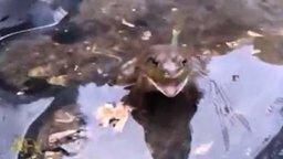 Смотреть Жаба как сирена
