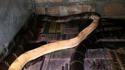 Смотреть Королевская кобра за обедом