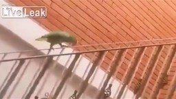 Перила - аттракцион для попугая смотреть видео прикол - 1:28