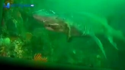 Смотреть Дайверы спасли акулу