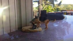 Смотреть Овчарка укладывает спать щенка-игруна