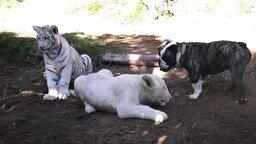 Смотреть Пёс против львёнка и тигрёнка