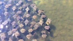 Смотреть Скаты мигрируют