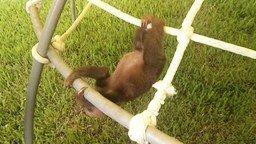 Смотреть Смешной детёныш ленивца